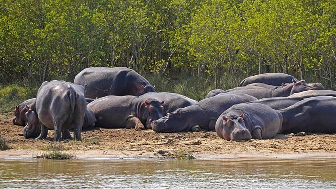 Hippo Cull in Zambia is nothing to do with conservation, and everything to do with money, says Born Free