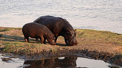 Born Free pleads with Zambian President to spare the lives of 2,000 wild hippos